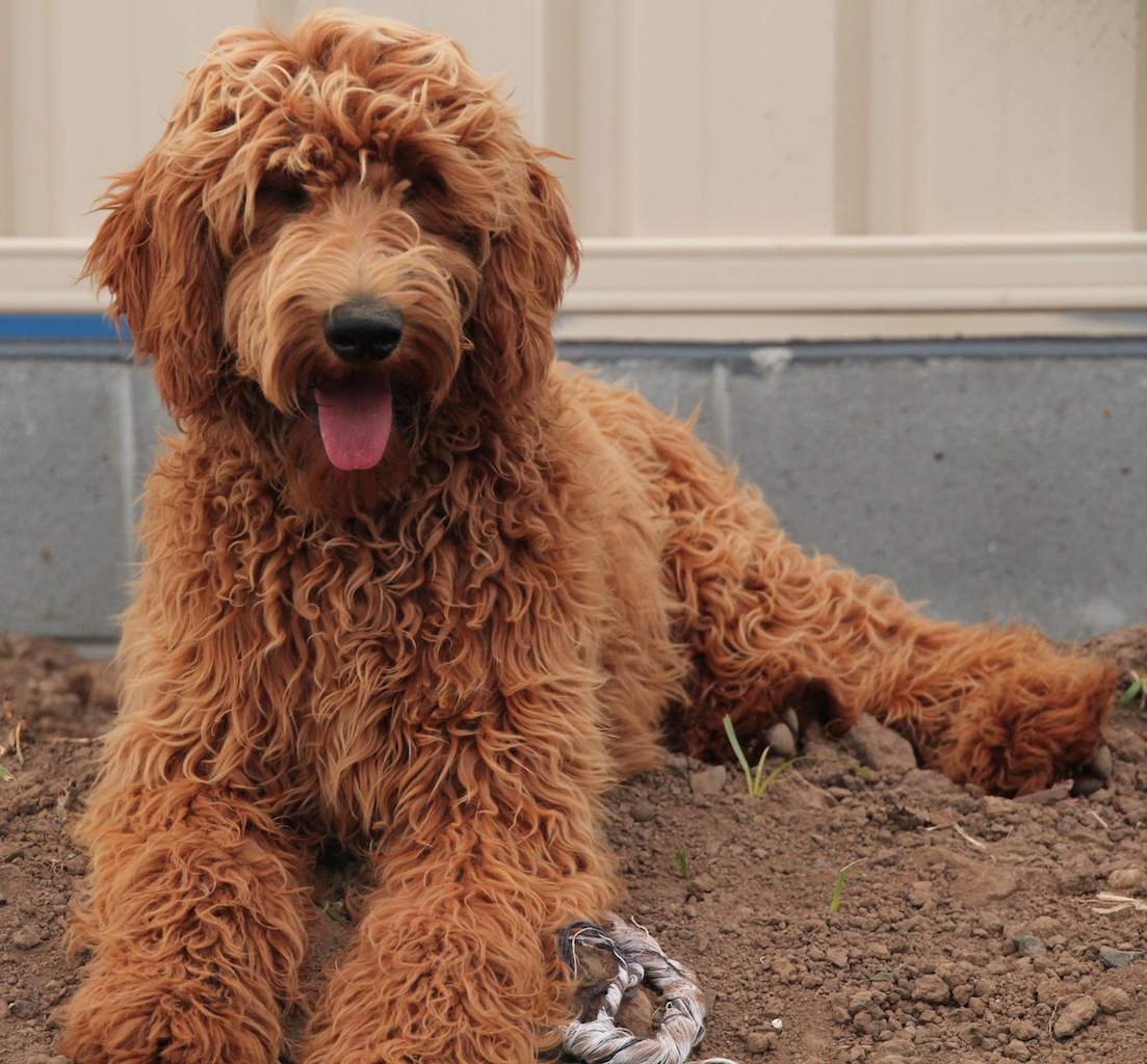 Krakajak Labradoodles | Labradoodle Breeder on the Mid North Coast