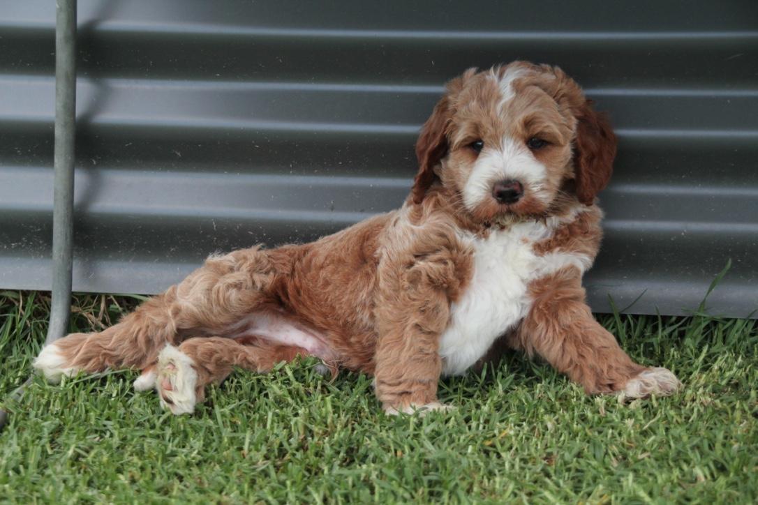 Bowie medium red & white labradoodle – puppy   Krakajak