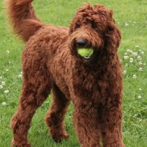 Krakajak Labradoodles Labradoodle Breeder On The Mid North
