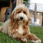 Red & White Abstract Standard Labradoodle